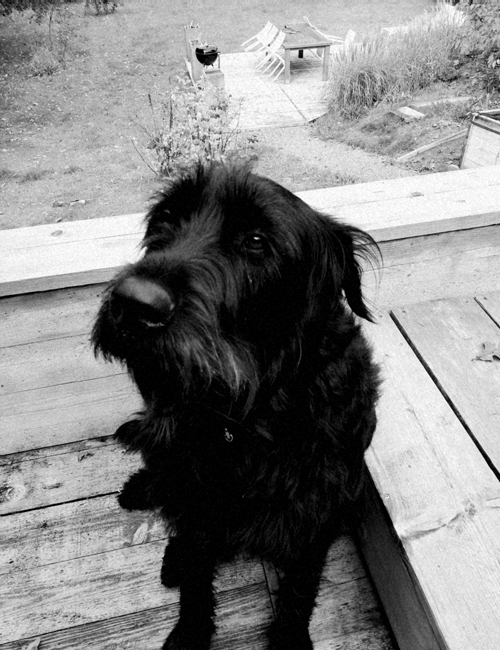 profil chien